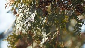 Ramo e cielo blu di albero sempreverdi della foresta della primavera immagini stock libere da diritti