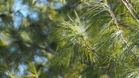 Ramo e cielo blu di albero sempreverdi della foresta della primavera Immagine Stock Libera da Diritti