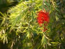 Ramo e flor de Callistemon do Bottlebrush Fotografia de Stock