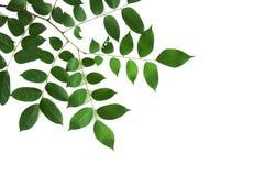 Ramo e foglie Immagini Stock Libere da Diritti
