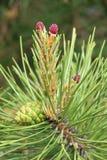 Ramo e frutta del pino Fotografia Stock