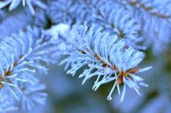 Ramo e gotas spruce azuis Fotografia de Stock Royalty Free