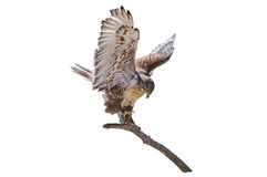 Ramo Ferruginous dos regalis de Hawk Buteo isolado Foto de Stock