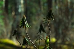 Ramo in foresta verde scuro, fine del rododendro su sunlight Priorità bassa vaga immagine stock libera da diritti