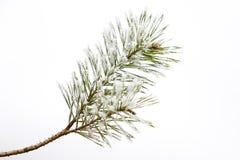 Ramo gelido isolato del pino Fotografie Stock Libere da Diritti