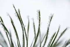 Ramo gelido isolato del pino Immagini Stock