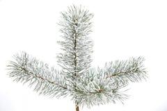 Ramo gelido isolato del pino Fotografia Stock Libera da Diritti