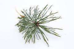 Ramo gelido isolato del pino Fotografia Stock