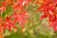 Ramo giapponese variopinto delle foglie di acero su bokeh naturale Fotografie Stock Libere da Diritti