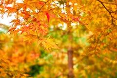 Ramo giapponese variopinto delle foglie di acero su bokeh naturale Immagini Stock Libere da Diritti