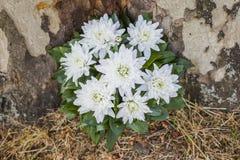 Ramo hermoso de crisantemos en una cesta foto de archivo libre de regalías