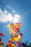 Ramo hermoso de flores secas coloridas de la paja o de w eterno Imagen de archivo libre de regalías