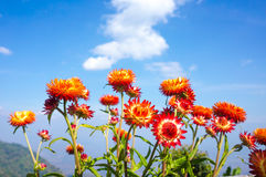 Ramo hermoso de flores secas coloridas de la paja o de w eterno Imágenes de archivo libres de regalías