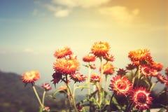 Ramo hermoso de flores secas coloridas de la paja o de w eterno Foto de archivo libre de regalías