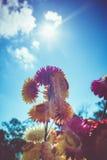 Ramo hermoso de flores secas coloridas de la paja o de w eterno Fotos de archivo