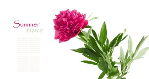 Ramo hermoso de peonías rosadas Foto de archivo