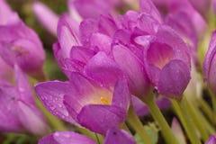 Ramo hermoso de tulipanes Imagen de archivo