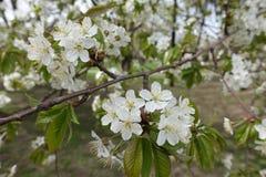 Ramo inclinado da cereja de florescência na mola fotos de stock royalty free