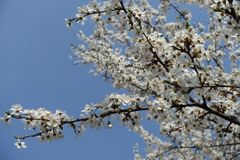 Ramo inclinado do cerasifera de florescência do Prunus contra o céu azul imagem de stock royalty free