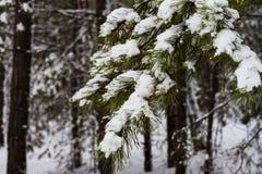 Ramo innevato bianco del pino nella foresta di inverno Fotografia Stock Libera da Diritti