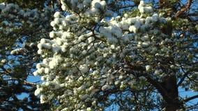Ramo innevato del pino contro il cielo blu stock footage