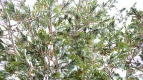 Ramo innevato dell'abete nel parco di inverno su un fondo del cielo blu stock footage