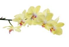 Ramo isolato orchidee giallo limone fini isolato Fotografia Stock