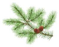 Ramo lanuginoso verde del cedro e due coni royalty illustrazione gratis