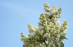 Ramo lilás branco na mola Imagens de Stock Royalty Free