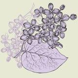 Ramo lilás, mão-desenho Ilustração do vetor Fotografia de Stock