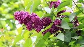 Ramo lilás no jardim video estoque