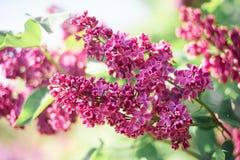 Ramo lilás roxo da flor em um fundo verde fotos de stock royalty free