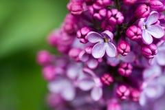 Ramo lilla fiori lilla sul ramo piccoli fiori lilla lilla fotografia stock libera da diritti