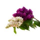 Ramo lilla isolato fiore Fotografia Stock