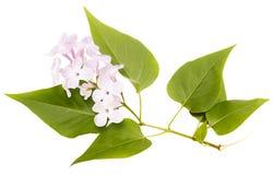 Ramo lilla porpora di fioritura isolato Il tempo di primavera… è aumentato foglie, sfondo naturale Fotografie Stock