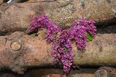 Ramo lilla su legno Immagini Stock