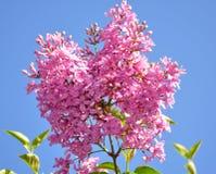 Ramo lilla sul fondo del cielo blu fotografie stock libere da diritti