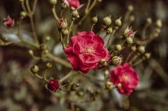 Ramo luminoso con i germogli e la rosa rossa Fotografia Stock