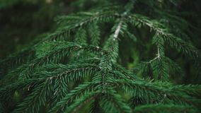 Ramo luminoso degli aghi del pino nel ramo di pino lanuginoso della foresta di estate stock footage