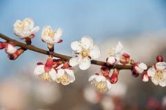 Ramo macio do abricó com a flor branca no fundo do bokeh do céu azul Imagens de Stock