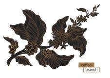 Ramo nero della pianta del caffè Covata dorata Illustrazione botanica Vettore Immagine Stock