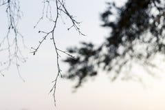 Ramo nero della siluetta con fondo confuso Fotografie Stock Libere da Diritti