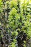 Ramo novo do Taxus, verde-claro na mola Fotografia de Stock Royalty Free
