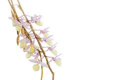 Ramo de la orquídea aislado Foto de archivo libre de regalías