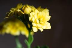 Ramo piacevole di piccolo primo piano giallo dei fiori con il fondo nero di pendenza fotografia stock libera da diritti