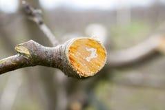 Ramo podado fresco da maçã na mola imagens de stock