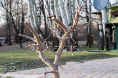 Ramo podado fresco da maçã na mola imagem de stock royalty free