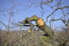 Ramo podado fresco da maçã na mola, imagem fotografia de stock