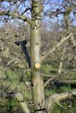 Ramo podado fresco da maçã na mola, imagem imagens de stock royalty free