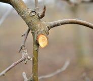 Ramo podado fresco da maçã no inverno imagens de stock
